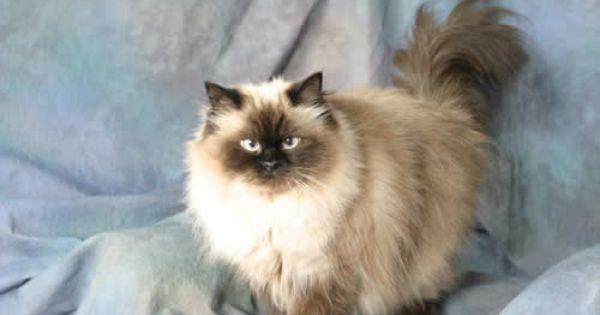 Looks Just Like My Ziggy Himalayan Cat Cat Lady Starter Kit Cats And Kittens