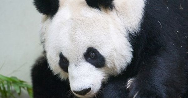 Giant Panda Edinburgh Zoo Edinburgh Zoo Panda Giant Panda
