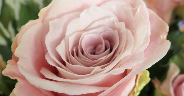Faith rose. Dusky Pink | Rose varieties | Pinterest ...