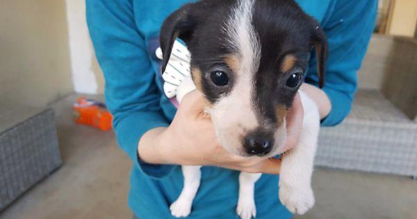 Miniature Fox Teriers Dogs Puppies Gumtree Australia Redland