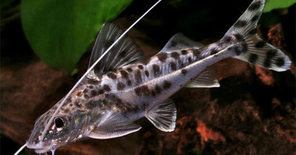 Pictus Catfish Full Of Personality And Energy Semi Aggressive Best Kept With Fish Of A Similar Size Fish Tank Themes Catfish Cool Fish