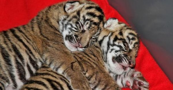 Update On The Cameron Park Zoo S Tiger Twins Cat Cuddle