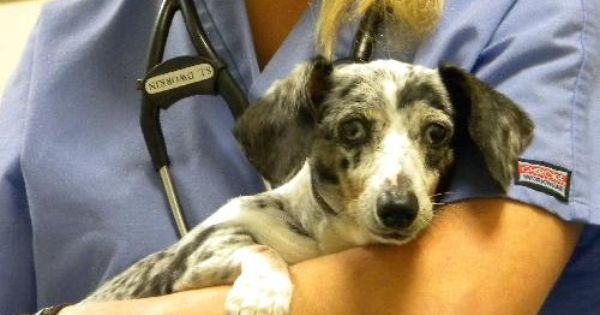 Please Adopt Cricket Available At Furever Dachshund Rescue