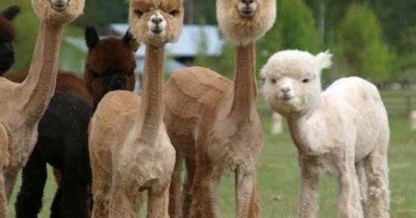 shaved alpacas. this pic can make a bad day so much better