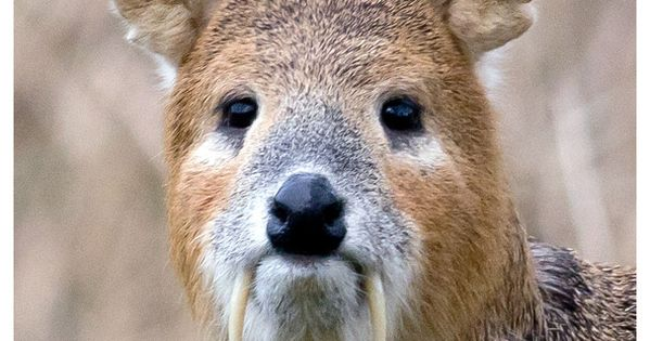 Big Tusks. by Guy on 500px. This is a Chinese water deer