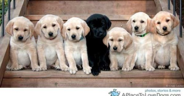 Lab Puppies Soo Cute This Was Darwin Only Black Lab In A