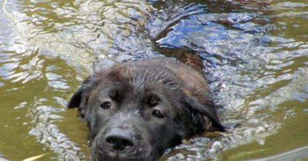 Bull Mastiff Golden Retriever Mix Pup Dog Swimming Mastiffs