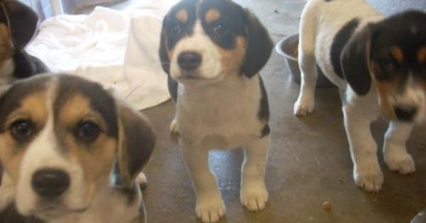 Adopt 17 Available 3 10 Week Old Pups 3 M On Beagle