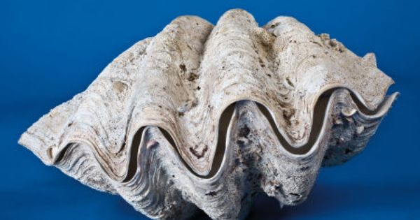 Complete Giant Clam Shell Tridacna Gigas South Pacific This Is A Fine Sized Specimen Weighing Over 250 Lb And Measuring Giant Clam Giant Clam Shell Sea Shells