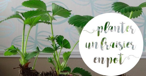 Planter Un Fraisier En Pot Pour Le Balcon Rempotage Choix Des Plants Potager Mode D