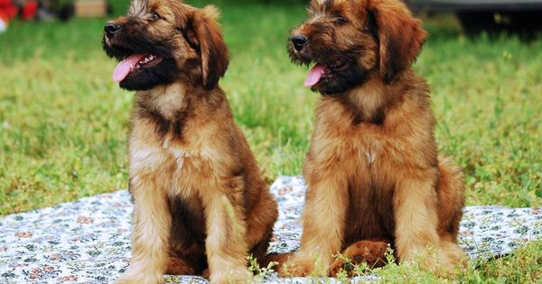 Two Briard puppies takin' it easy are doubly as cute as ...