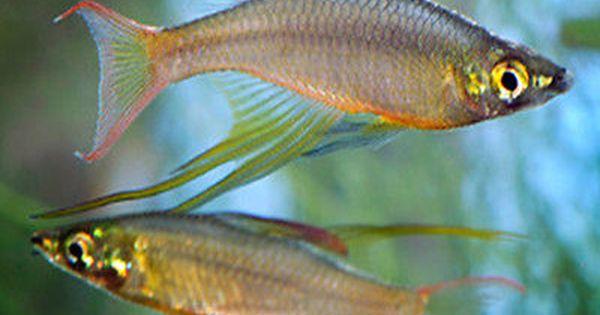 Pregnant Crystal Red Shrimp Shrimp And Lobster Home Aquarium Freshwater Aquarium