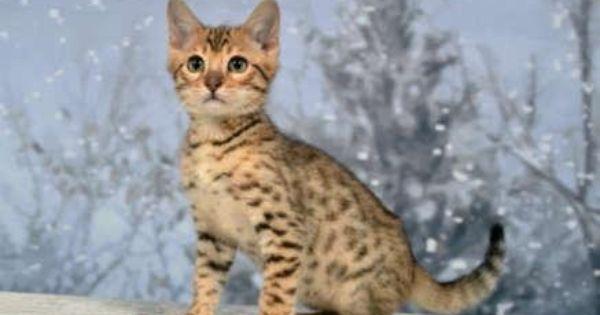Pedigree Registered Brown Rosetted Bengal Kittens Bengal Kitten Kittens Cats