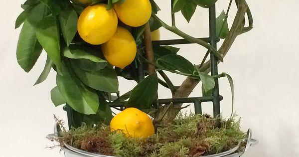 Astuce voici comment faire pousser un citronnier la for Comment tailler un citronnier
