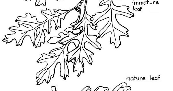 oak tree  valley oak tree leaves and fruit coloring page  quercus lobata