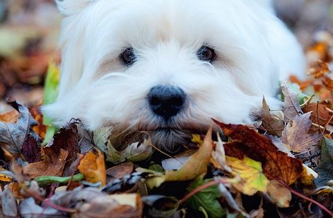 PET WESTIE Lost in Autumn leaves.