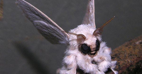 """The Venezuelan poodle moth was first captured on film by Dr. Arthur"