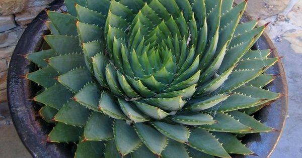 Aloe Polyphylla: Spiral Aloe Cactus... I want an aloe plant!