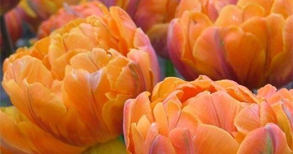 Orange Princess (Peony Flowering Tulip) I want to plant these..