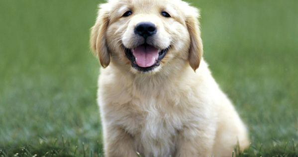Golden Retriever puppies. What a cutie!