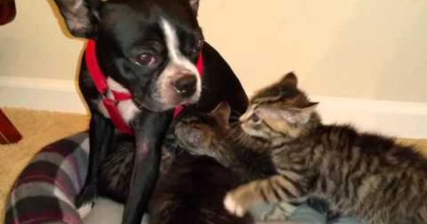 Orphan Kittens Nurse On Dog Who Starts Producing Milk Just For Them With Images Boston Terrier Dogs Kittens