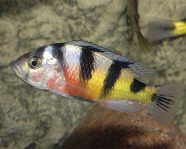 Aquariumdomain Com African Cichlid Aquarium African Cichlids Cichlid Aquarium