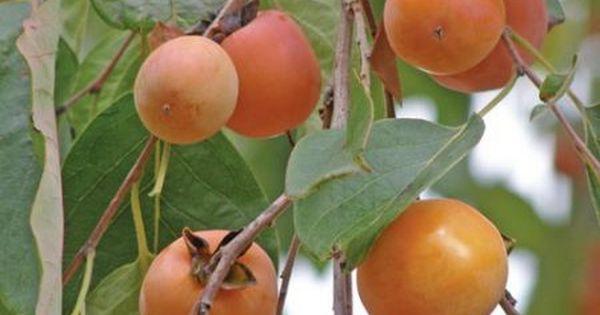 Trousse de d couverte des arbres rares fruits comestibles jardin autour de l 39 arbre - Arbre murier fruit comestible ...