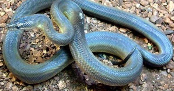ウォーターパイソン 爬虫類 ヘビの基本的な知識と飼育方法 爬虫類 ヘビ ペット