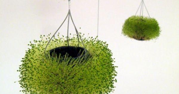 das mexikanische wunderk rnchen pflanzen mexikanisch und g rten. Black Bedroom Furniture Sets. Home Design Ideas