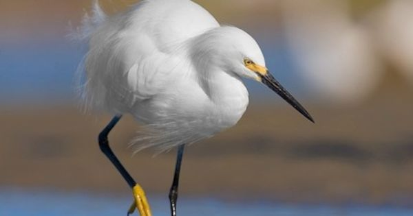 Snowy Egret Love This Yellow Footed Shorebird That Has Come