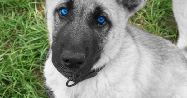 blue eye german shepherd white german shepherd puppies with blue eyes for sale 4133