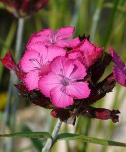 Dianthus Carthusianorum Tall Delicate Stems Of Deep Pink Flowers Over Dark Green Grassy Foliage Full Sun Einjahrige Pflanzen Wildblumenwiese Nelken
