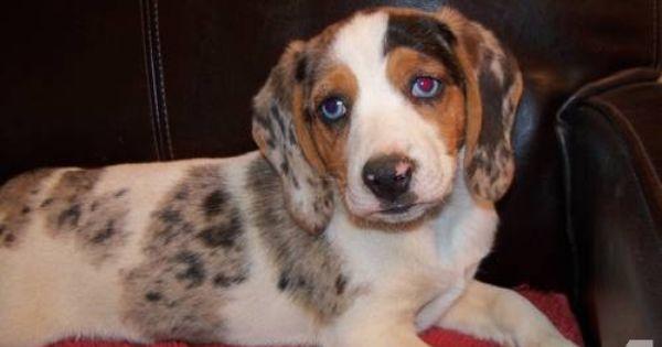 Merle Pocket Beagle Blue Eyed Dog Beagle Dog Beagle