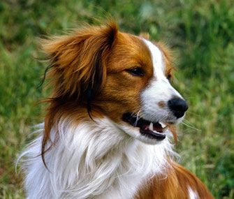 5 Reasons A Kooikerhondje Might Be The Right Dog Breed For You Honden Collie Dieren