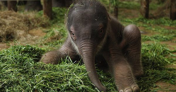 Two-Day Old Baby Elephant Presented At Berlin Zoo. A baby Asian elephant