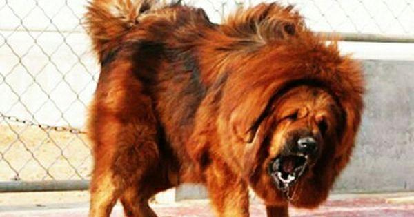 Pin By Mr Horseman On Cattle Dog Tibetan Mastiff Mastiffs Dogs