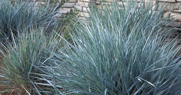 Blue lyme grass leymus arenarius blue dune very hardy to sun sand