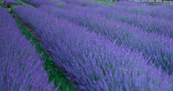 Lavandula intermedia 'Phenomenal' - Zone 5 | Top ...