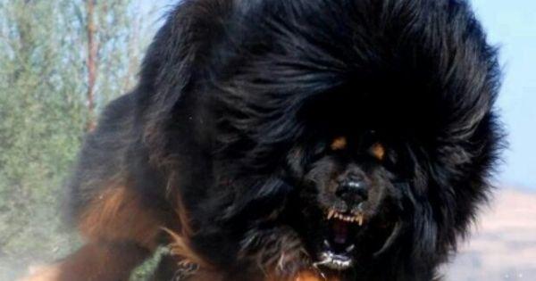 Big Mastiff Looks Like A Angry Black Bear The Thunder Of