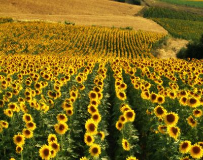 Sunflower Fields, Andalucia, Spain. This would be a dream come true if