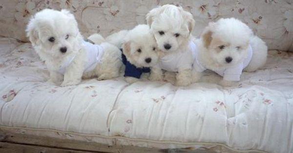 Coton De Tulear Puppies With Images Coton De Tulear Puppy Coton De Tulear Dogs Cute Dogs Breeds