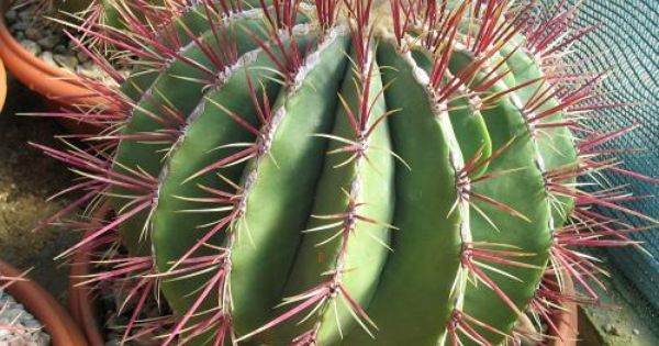 Ferocactus haematacanthus cactos pinterest search for Feroxcactus chile