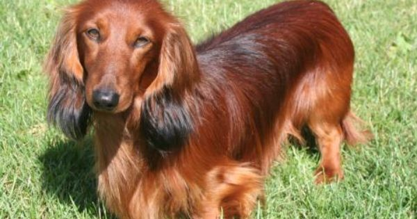 Long Haired Doxie Cute Dachshund Weenie Dogs Doxie Dogs