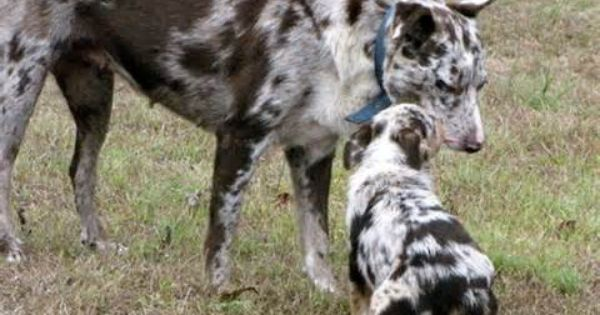 Australian Koolie Koolie Dog Australian Dog Breeds Pets For Sale