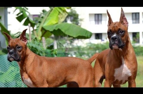 Boxer Puppies For Sale In Delhi Boxer With Kci Kennel Club Of India Certification Youtube Boxer Puppies Puppies For Sale Boxer Puppies For Sale