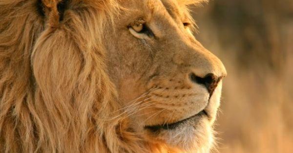 Lion Wide Sreen Hd Wallpapers 1080p High Resolution Pc Desktop Full Hd Wallpapers Lion Hd Wallpaper Lion Wallpaper Lion Images