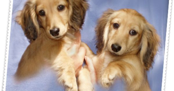 Dachshund Breeder Akc Miniature Dachshund Puppies For Sale