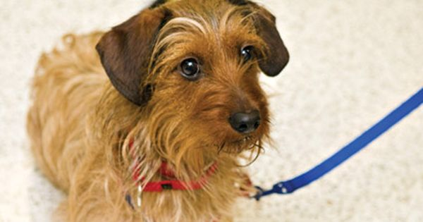 Wire Haired Dachshund Terrier Mix Terrier Mix Dog Control Wire