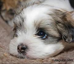 Maltese Informstion Of Maltese Grooming Of Maltese Price In India Dog Breed Info Maltese Dog Breed Dogs