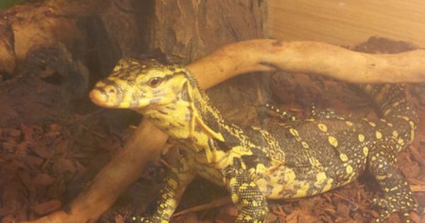 Reptiles For Sale With Free Advertising On Reptile Trader Uk